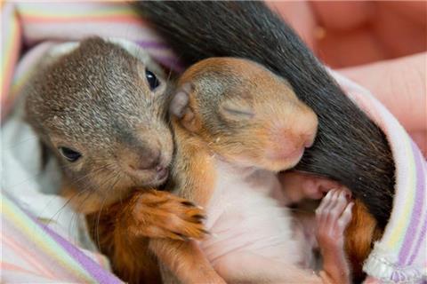 Amateur-Eichhörnchen Mädchen